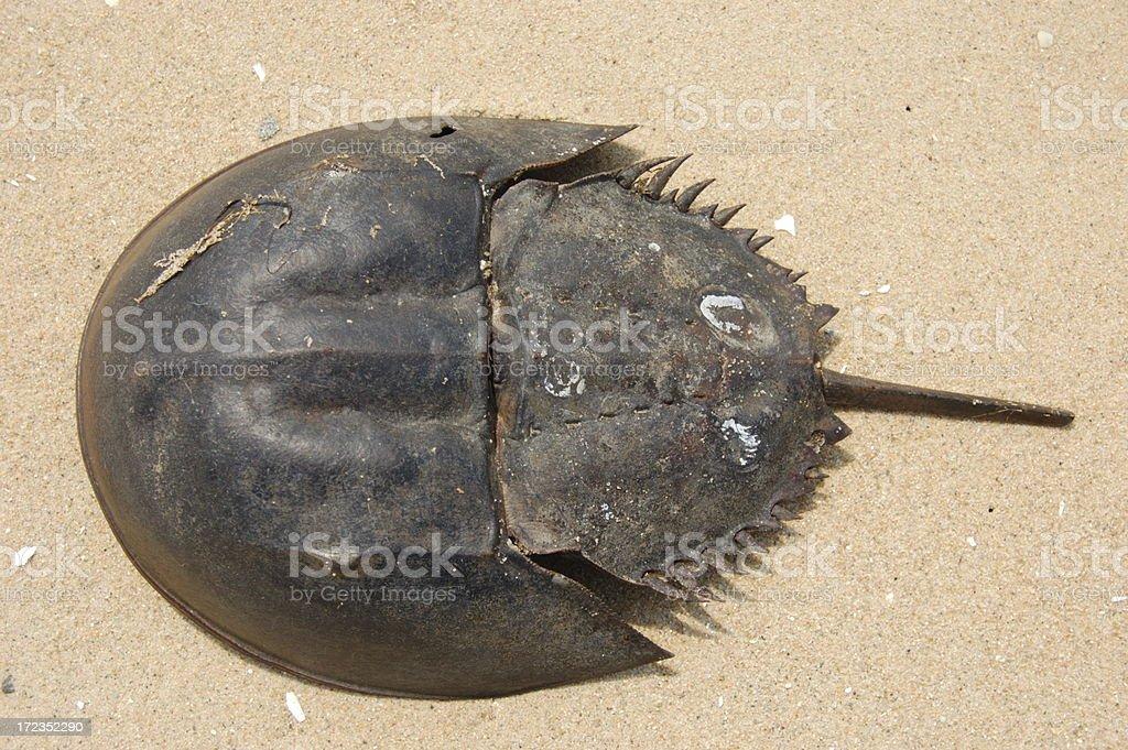 Cangrejo cacerola foto de stock libre de derechos