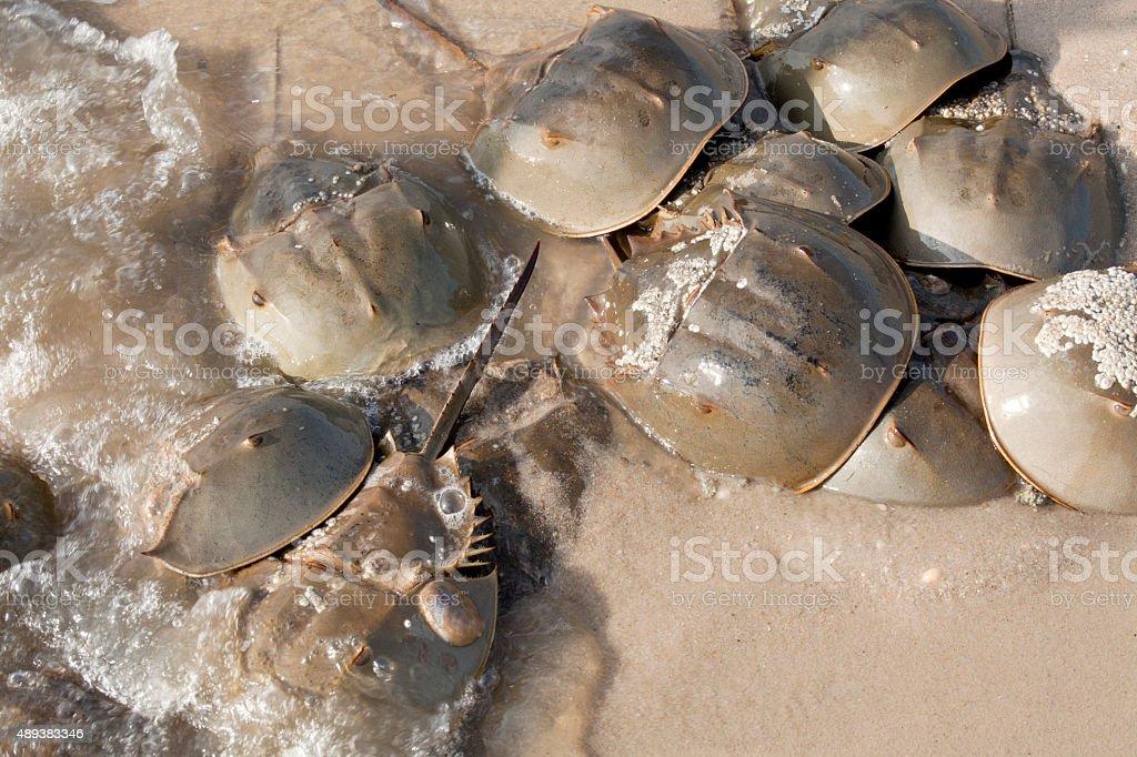 Horseshoe Crab (Limulus polyphemus) stock photo