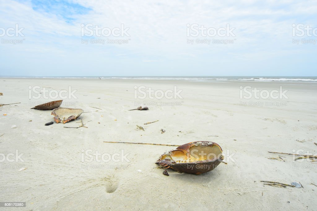 Horseshoe crab shed shells at high tide mark stock photo