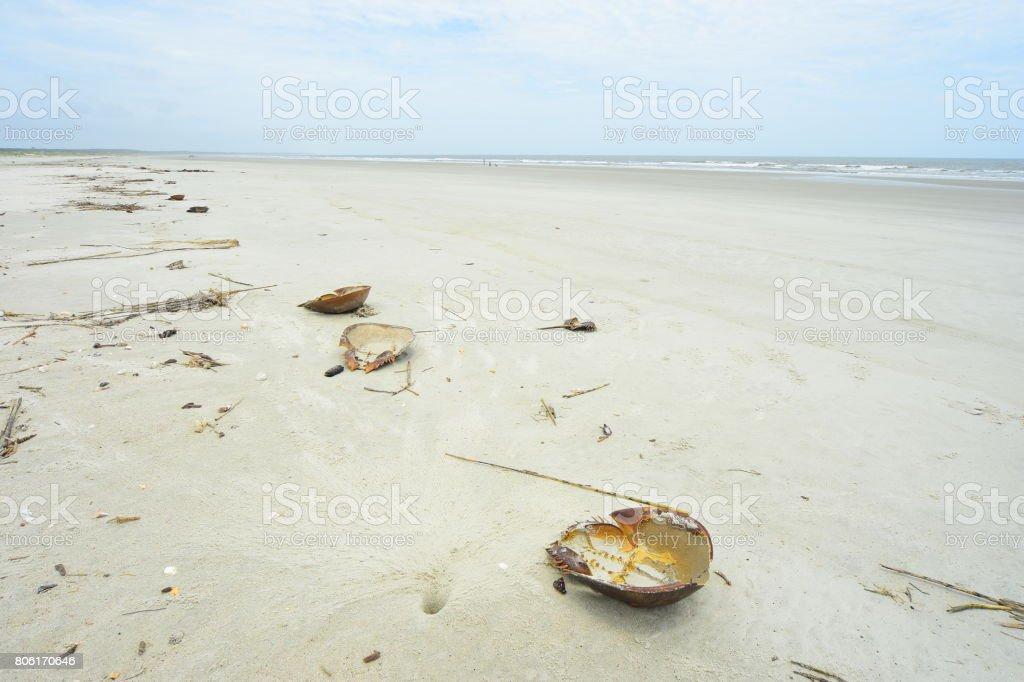 Horseshoe crab shed shells on wrack line at Cumberland Island National Seashore stock photo