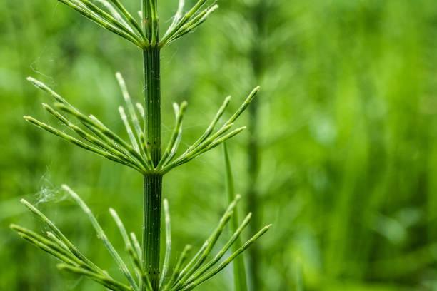 detail der schachtelhalm (equisetum arvense) - regierungsbezirk schwaben stock-fotos und bilder