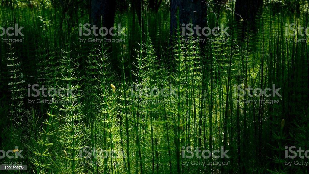 Horsetail Forest stock photo