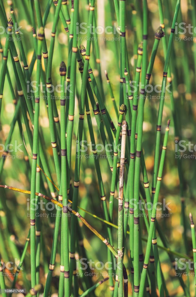 Horsetail grass grow in sunlight. Jointed stems of puzzletail grass close up. Green equisetum in sunny light on bokeh background. Bright detailed natural texture of snake grass with copy space. stock photo