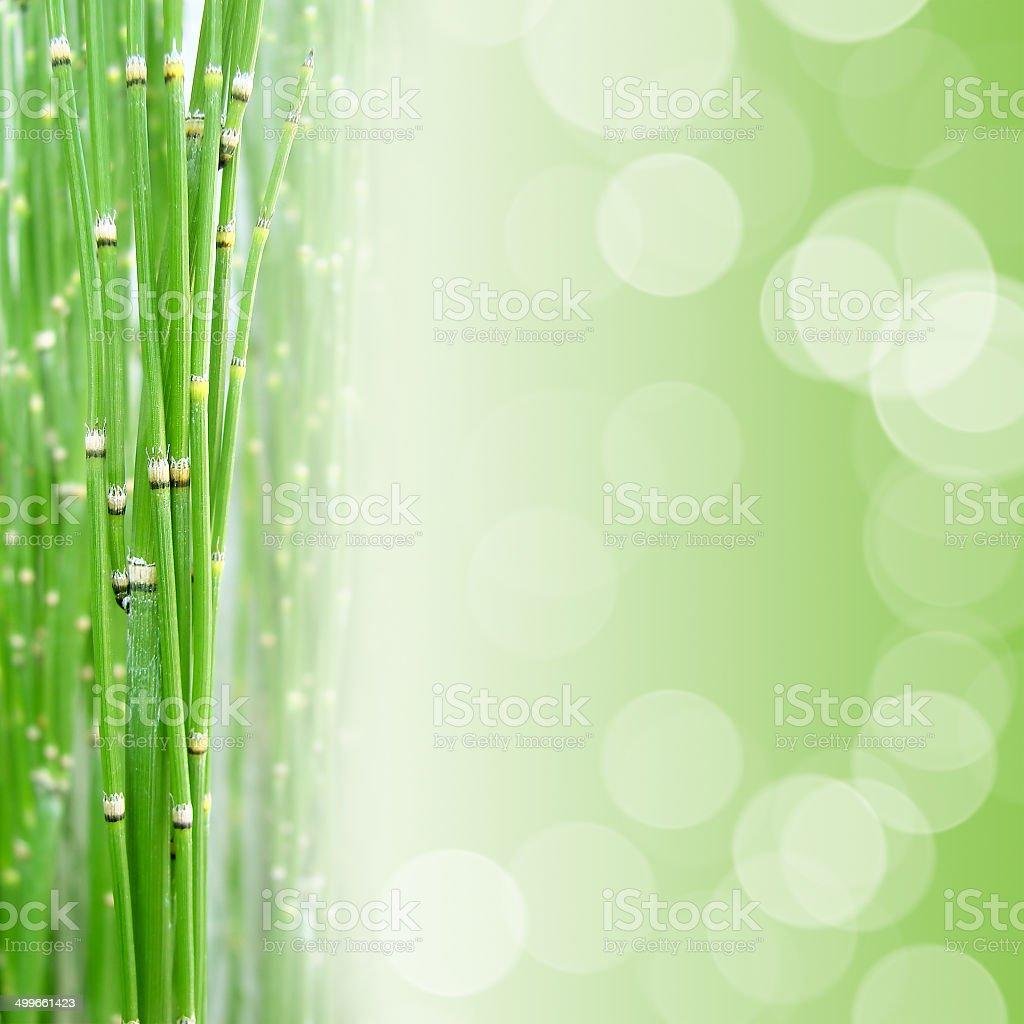 Horsetail, green background stock photo