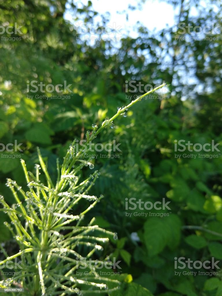 Horsetail with dew droplets royalty-free stock photo