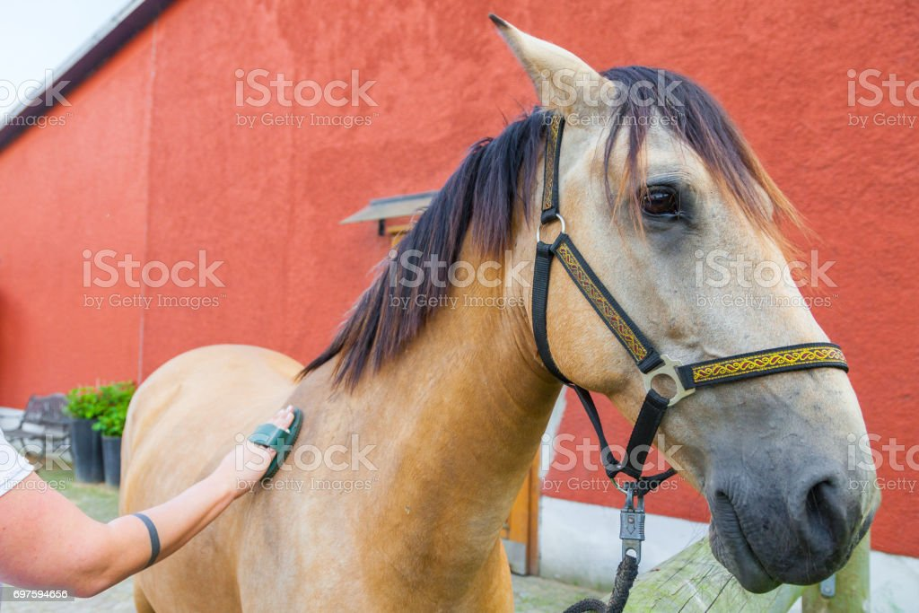 horsewoman cares her brown horse with a brush stock photo