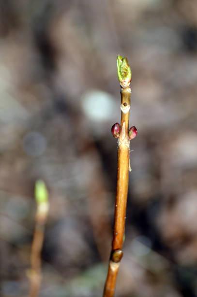 Hortensia flower bud at early spring picture id1304502828?b=1&k=6&m=1304502828&s=612x612&w=0&h=zvloptesrpkvmaggqpj xufokx9jlwi9jhr9lvcpxg4=