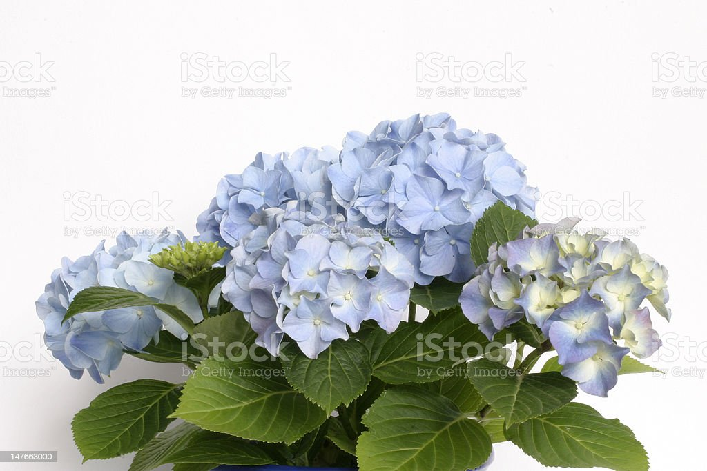 Hortensia Hydrangea royalty-free stock photo