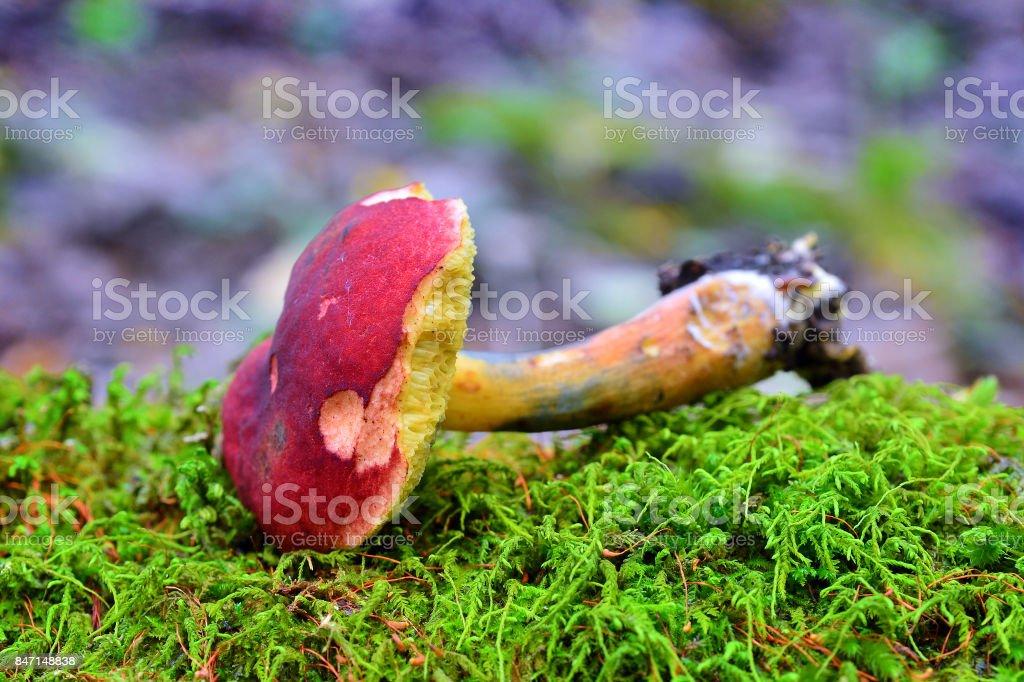 hortiboletus rubellus mushroom stock photo