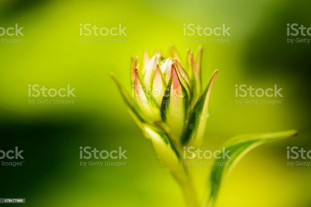 Hosta Bud on a Green Background stock photo