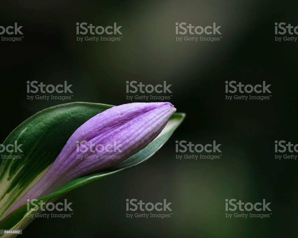 Hosta bud royalty-free stock photo