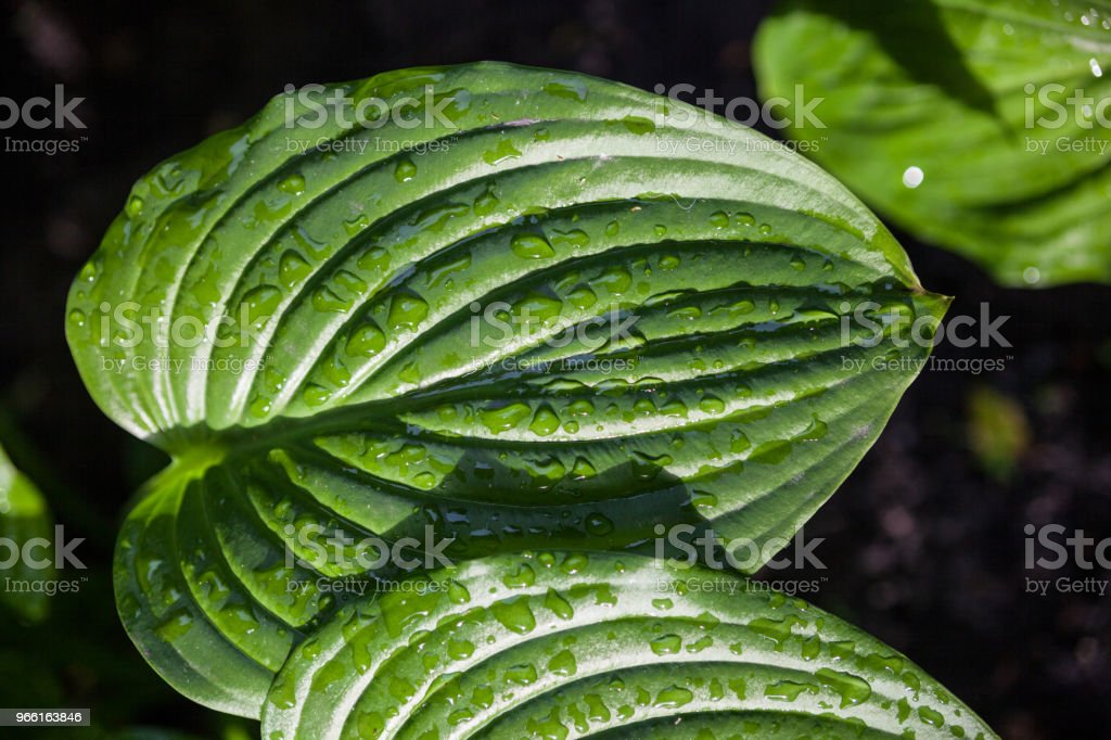 Hosta green leaves with dewdrops - Стоковые фото Абстрактный роялти-фри