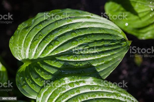 Hosta Gröna Blad Med Daggdroppar-foton och fler bilder på Abstrakt