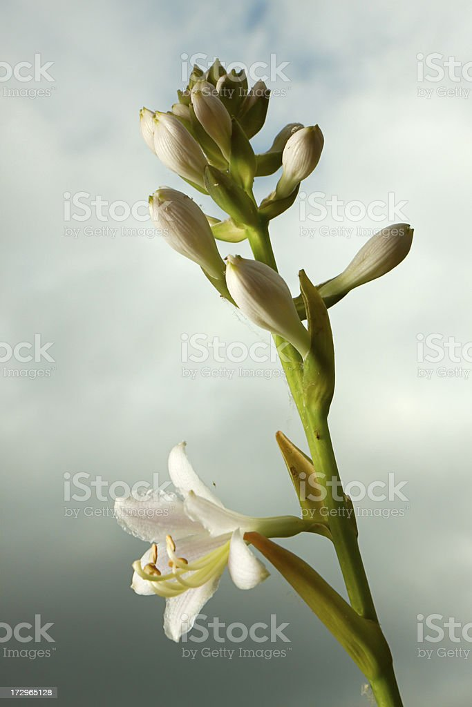 Hosta in blossom looking for first sunlight royalty-free stock photo