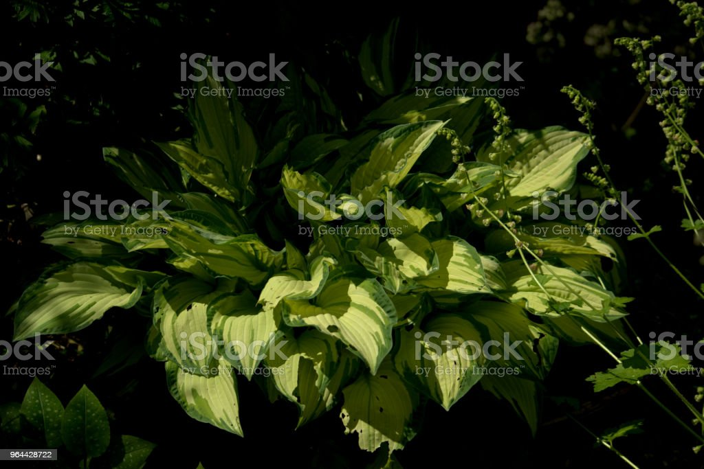 Hosta in sunshine - Royalty-free Beauty In Nature Stock Photo