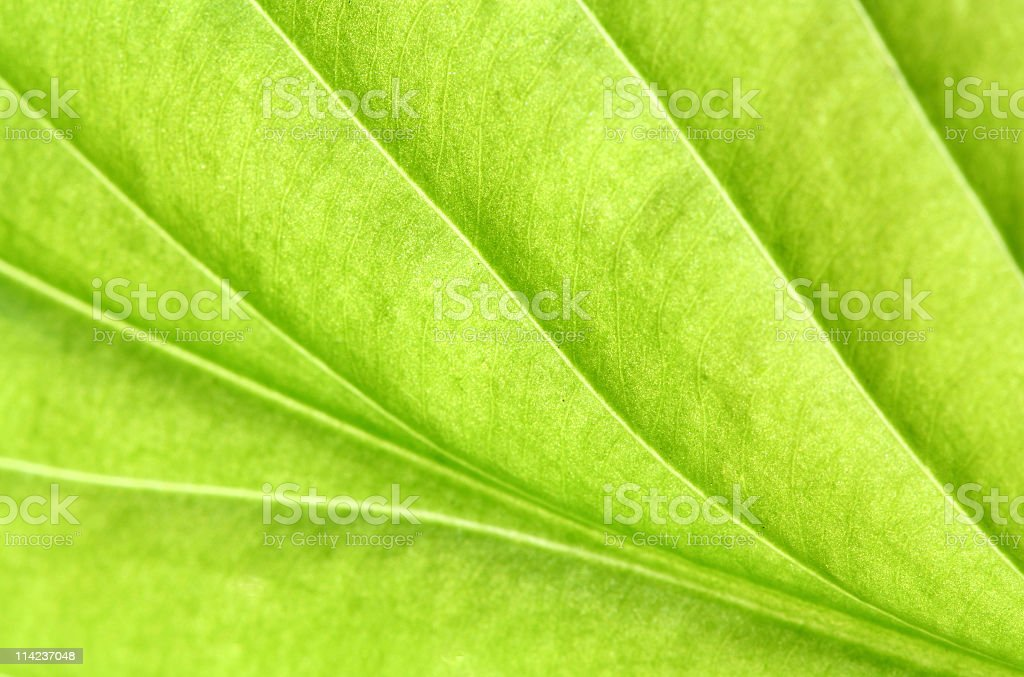 hosta leaf royalty-free stock photo