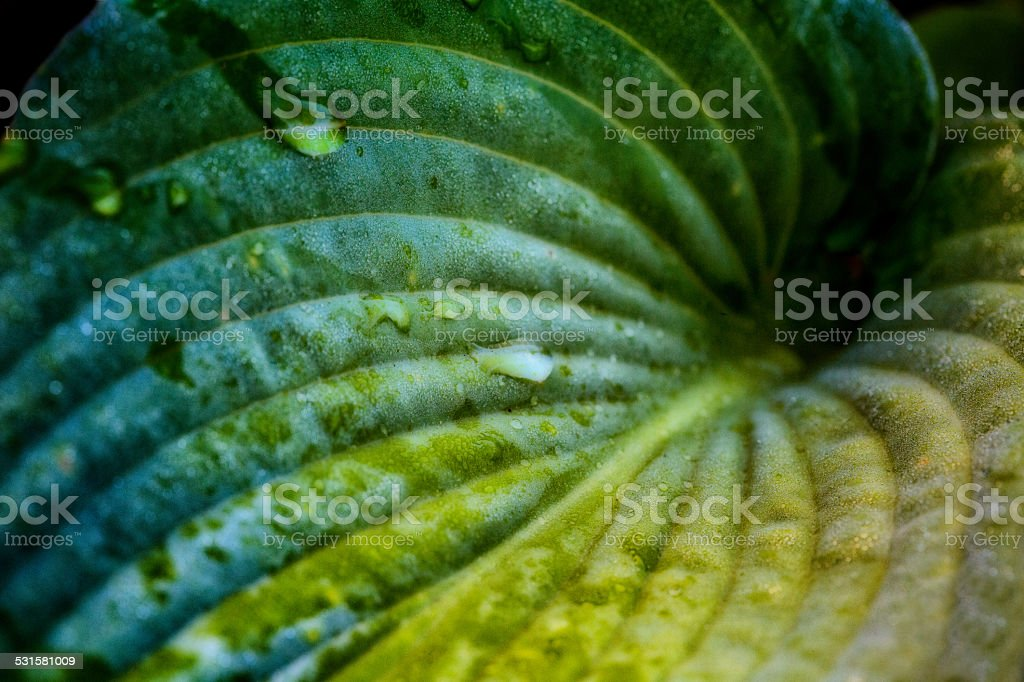 Hosta Leaf with Morning Dew stock photo
