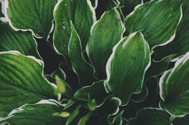 hosta leaves close up in summer garden. Plants for shady places in landscape design. stock photo