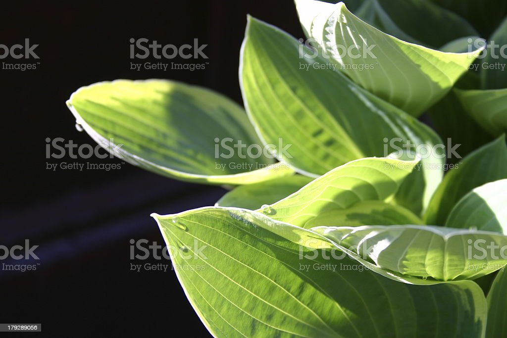 Hosta leaves royalty-free stock photo