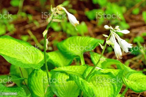 Photo of Hosta / Plantain lily