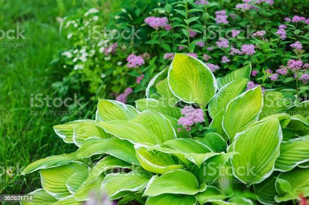 Photo of hosta planted in summer garden with other perennials