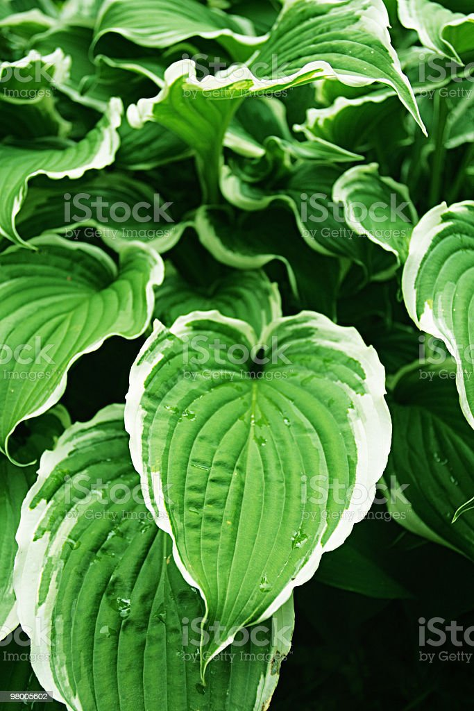 Hosta Silver Crown royalty-free stock photo