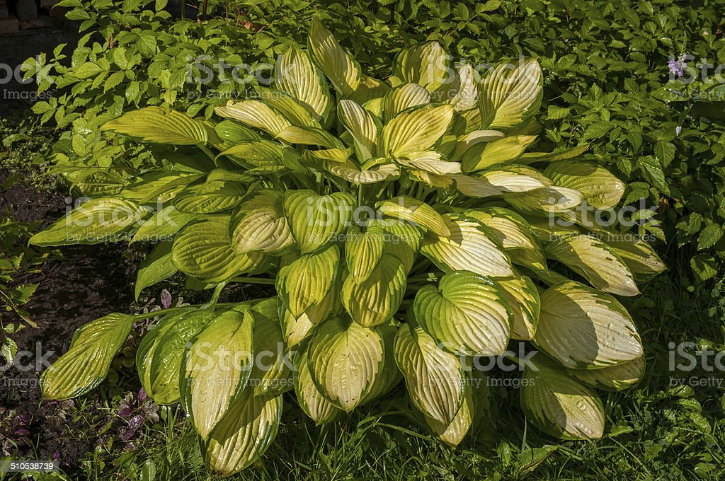 Hosta With Yellow Leaves In The Garden Stock Photo More Pictures