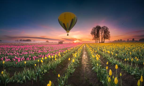Hot air balloon over tulip field at dawn stock photo