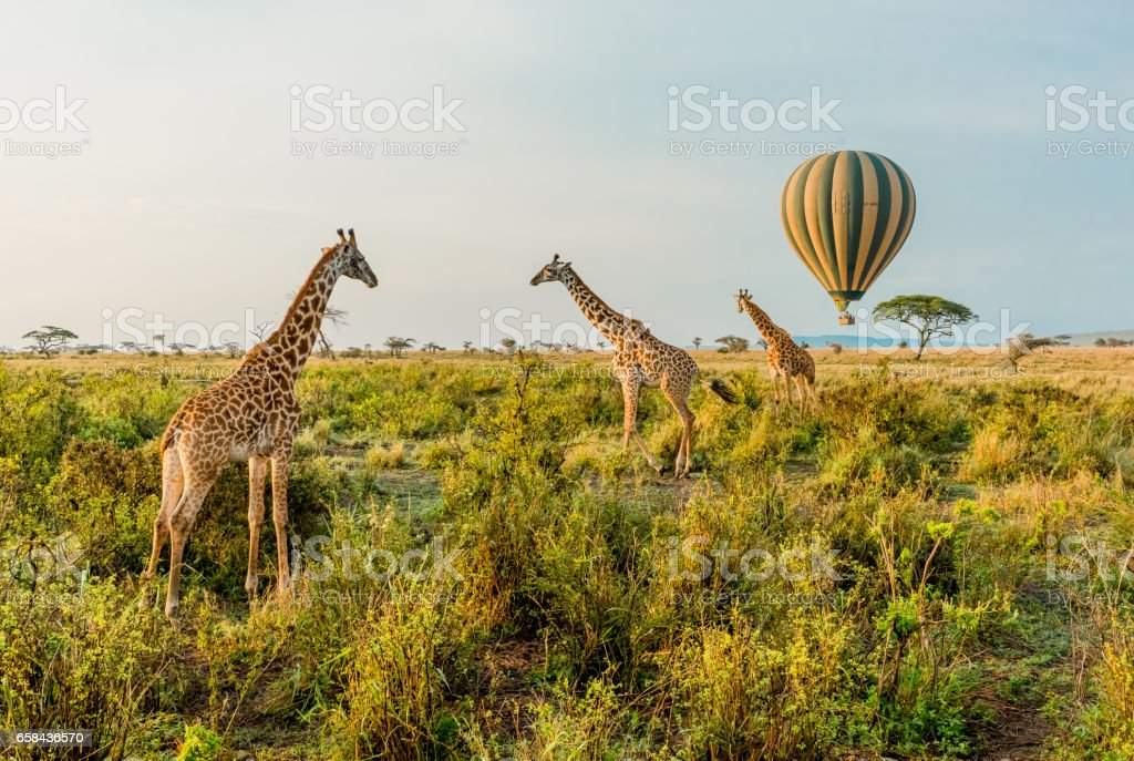 Hot Air Balloons and Giraffes stock photo