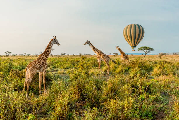 Hot Air Balloons and Giraffes Multiple Giraffes stand infant of a passing by Hot Air Balloon in The Serengeti in Serengeti National Park, Tanzania. tanzania stock pictures, royalty-free photos & images