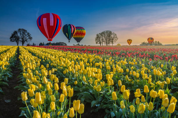 Hot air balloons hovering over tulips stock photo