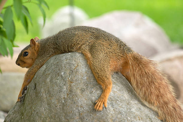 Hot and Tired Fox Squirrel stock photo