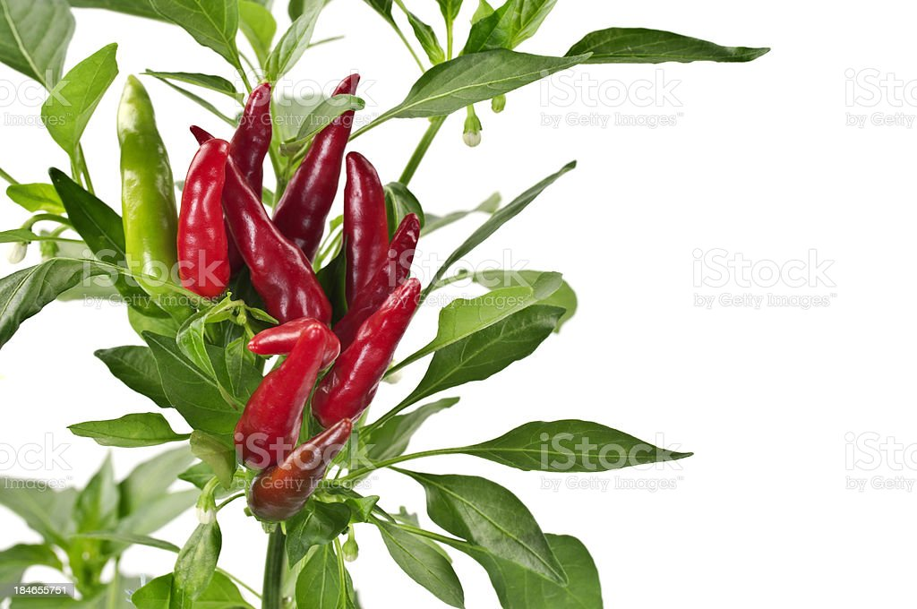 Hot Chili Peppers Growing stock photo