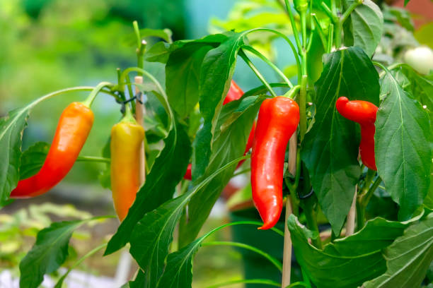 Hot chili peppers on bushes growing in a garden stock photo