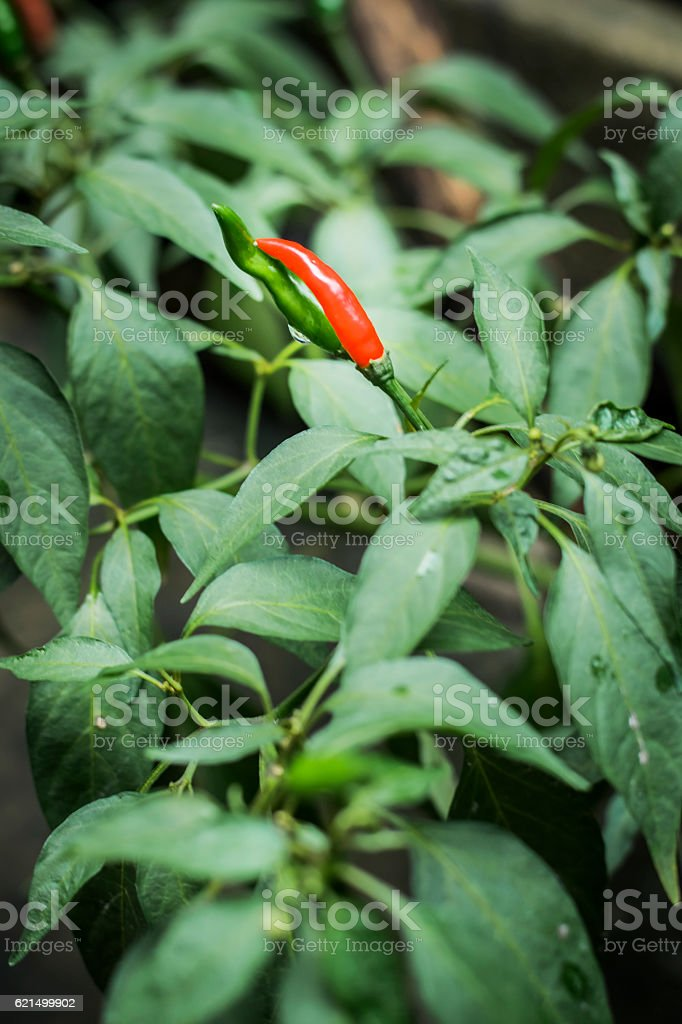 Hot peppers in Thailand foto stock royalty-free
