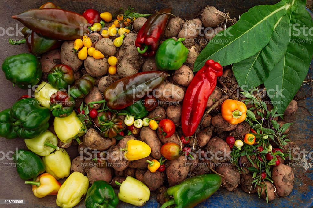 Hot peppers, potatto, paprika, tomatoes and tobbaco leaves stock photo