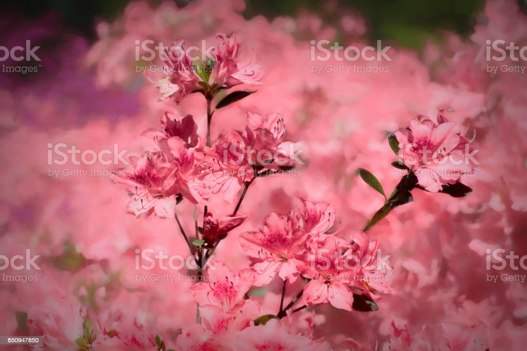 Hot pink azalea flower background flowering bush stock photo