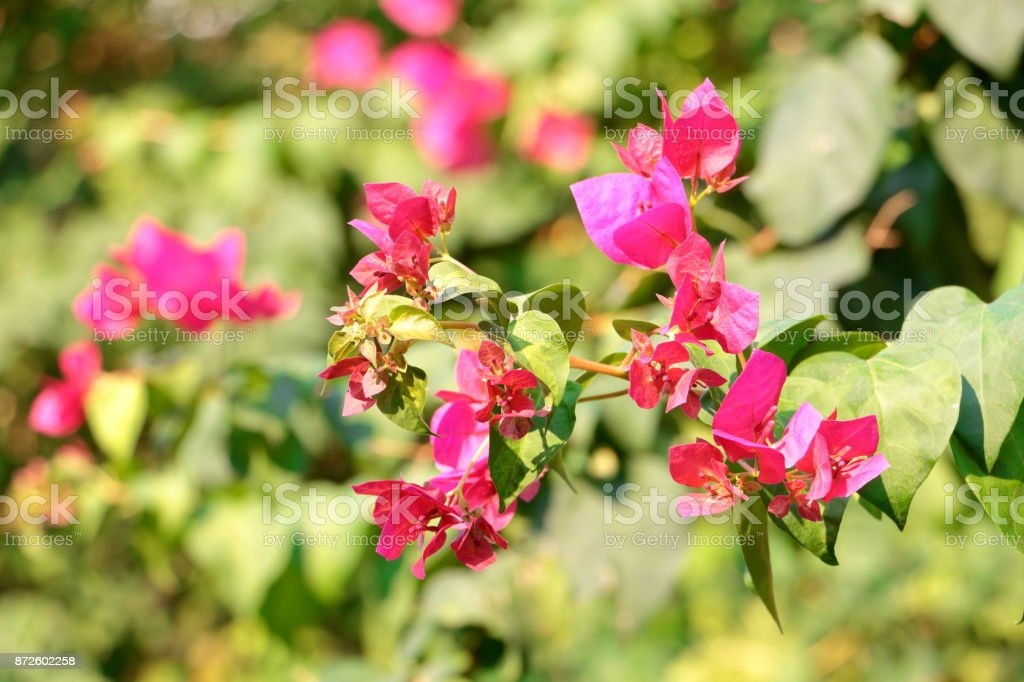 Hot pink bougainvillea flowers background image bougainvillea hot pink bougainvillea flowers background image bougainvillea flowers for backgrounds and textures royalty mightylinksfo