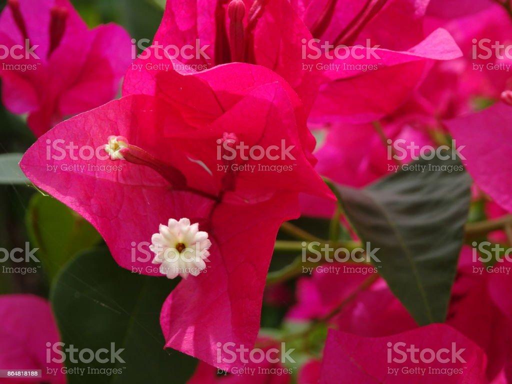 photo de fleurs de bougainvillier rose chauds - image libre de droit