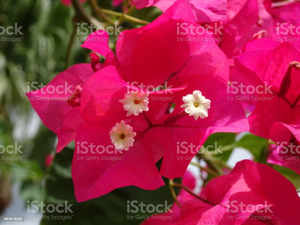 Hot Pink Bougainvillea Flowers Stock Photo More Pictures Of