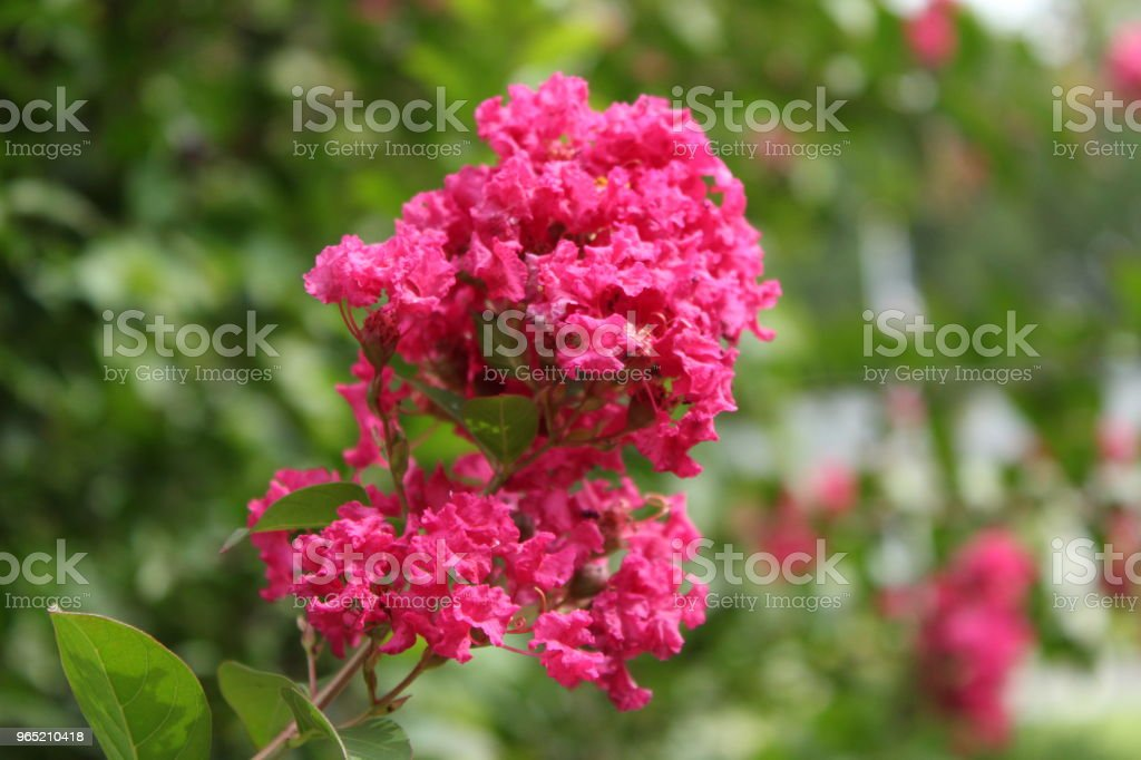Hot Pink Flower royalty-free stock photo