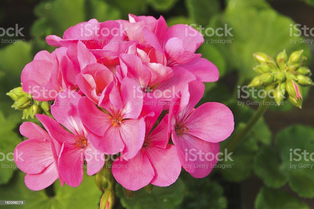Hot Pink Geranium royalty-free stock photo