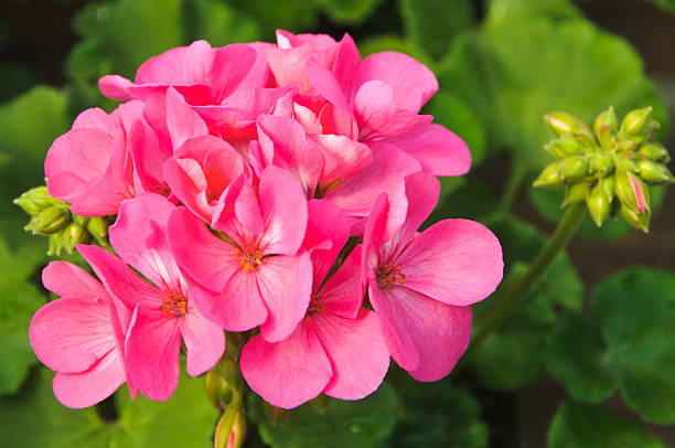 Hot Pink Geranium stock photo