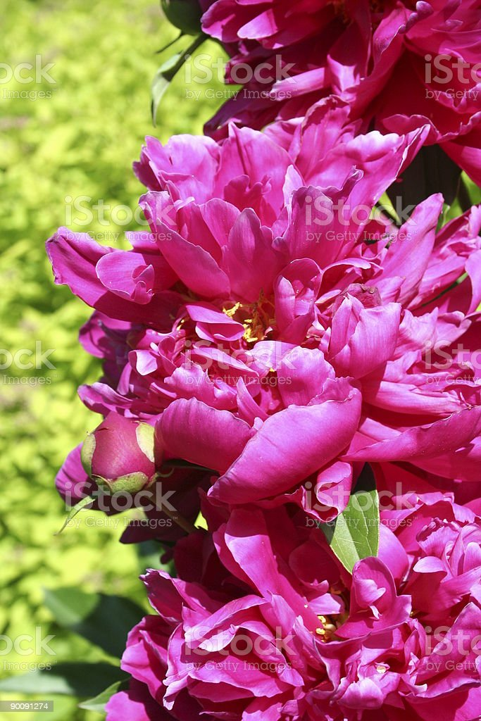Hot Pink Peonies Against Lime Green Background Stock Photo More