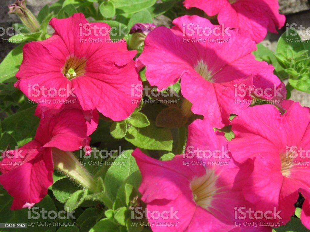 Hot pink petunias stock photo