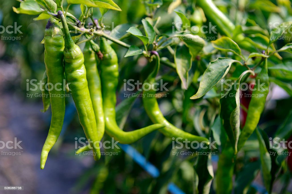 Hot Portugal Peppers stock photo