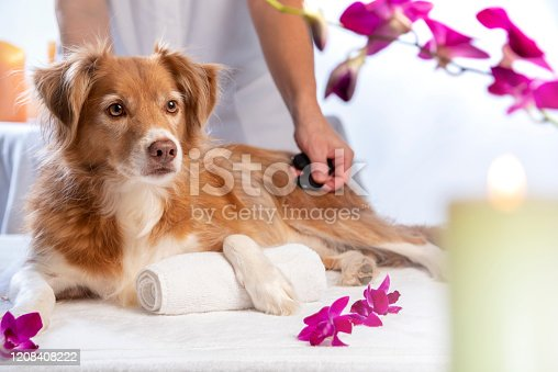 Horizontal photograph of a dog enjoying a hot stone massage spa session. He is relaxing while the massage therapist works with the hot stones in a luxurious spa setting. The dog is a Nova Scotia Duck Tolling Retriever.