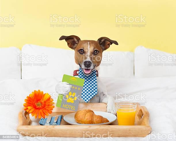 Hotel room service wtih dog picture id543834824?b=1&k=6&m=543834824&s=612x612&h=z3u0zwajk270payhaoyujtgbftki5wxc pssnbjanvy=