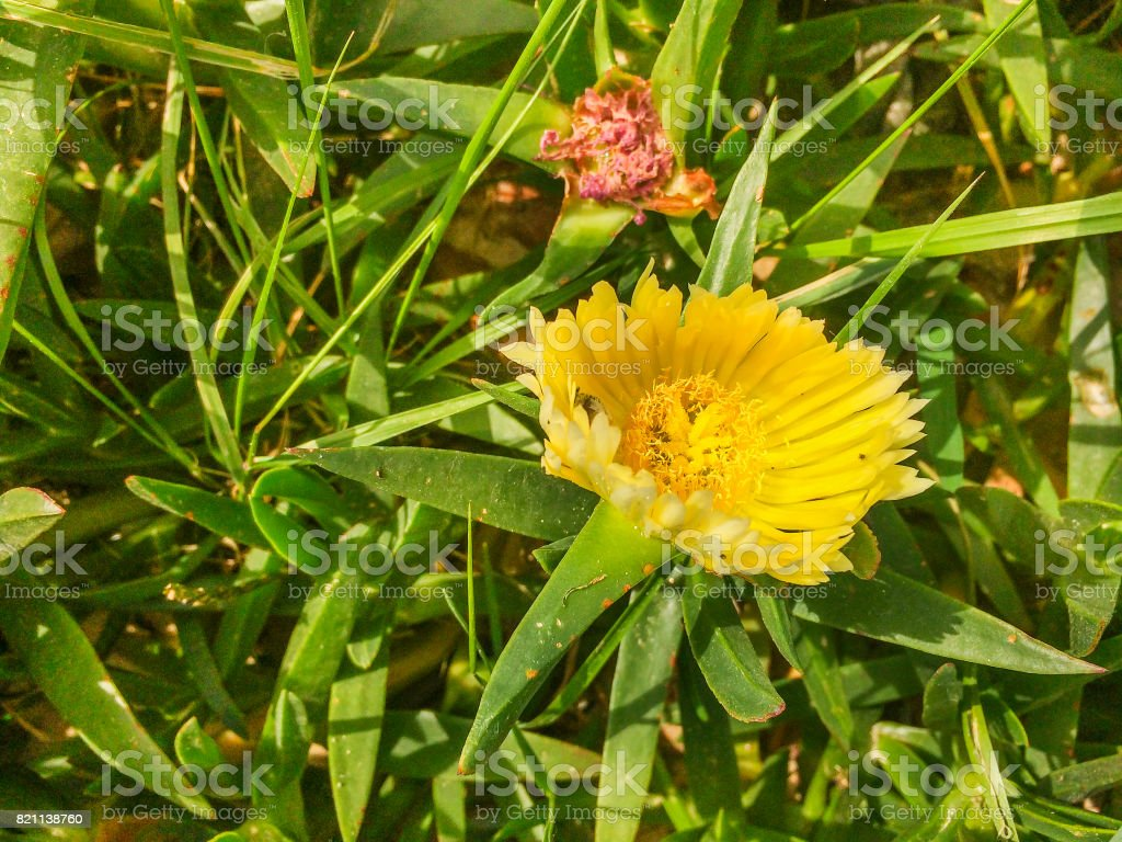 Hottentot-fig, highway ice plant or pigface stock photo