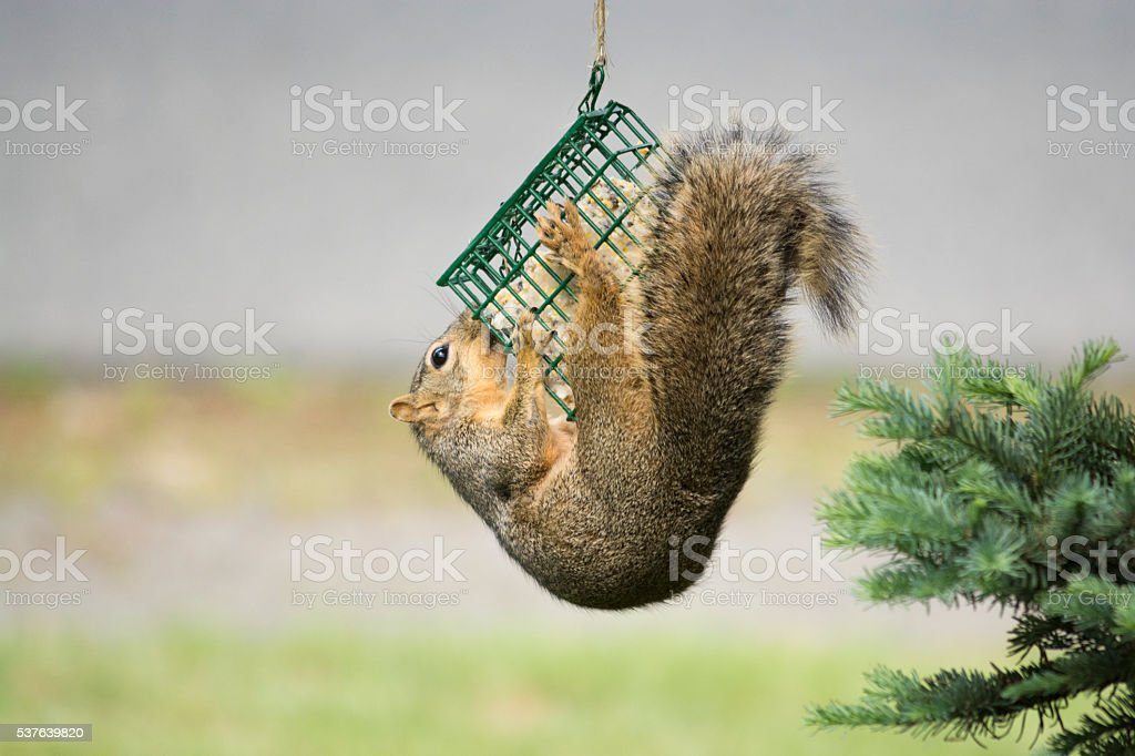 Houdini Squirrel stock photo